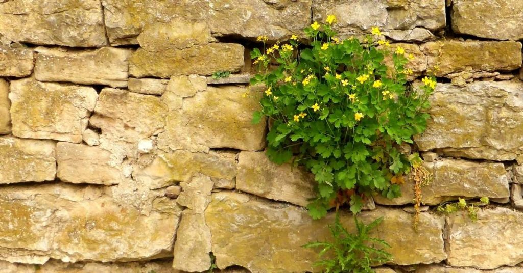 eliminar verrugas planta chelidonium chelidonium un artículo de sanamente.net