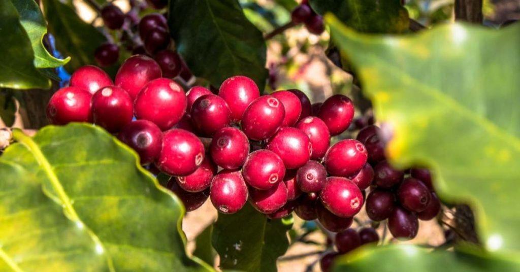 el café cuales son sus propiedades y usos