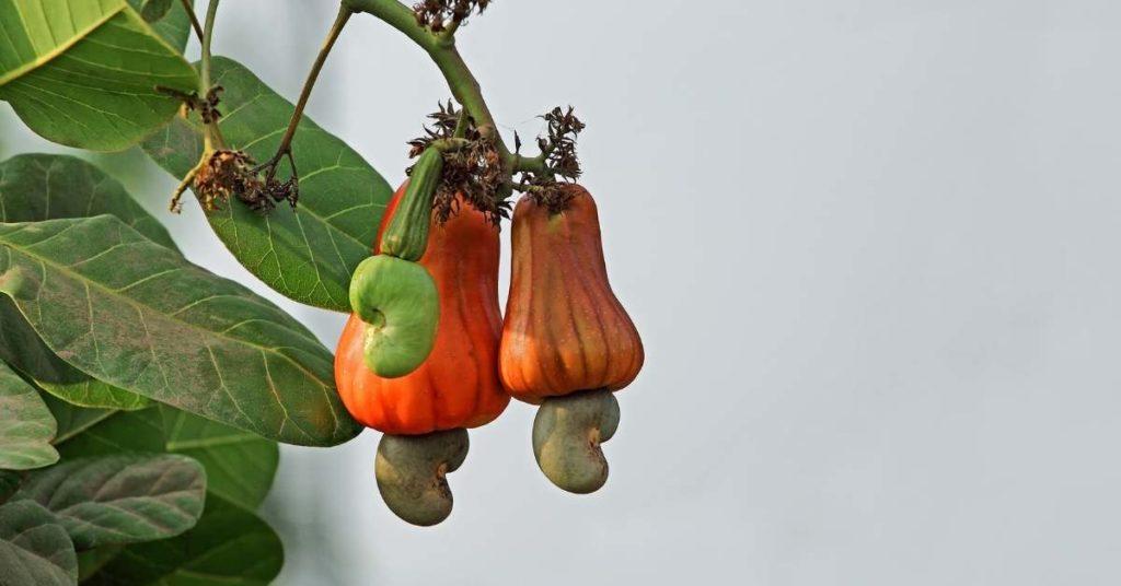 el anacardo es una semilla
